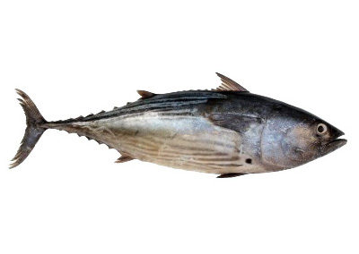 Albacore, Long finned tunny